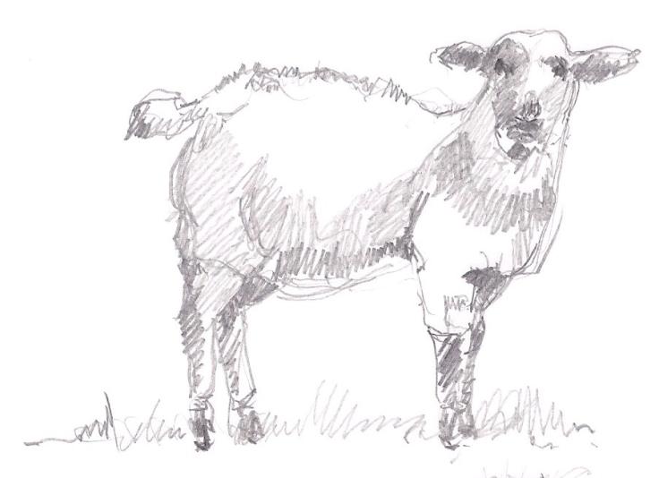 a sheep 01