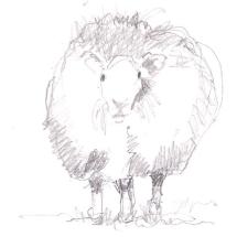 a sheep 02