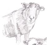 a sheep 03