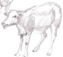 a sheep 04